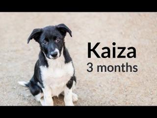 Kaiza border collie puppy - 3 months