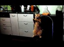 Котик попрашайка Смешные Кошки 2015 - Funny Cats Compilation .