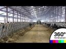 Первые телята от американских коров родились на ферме под Волоколамском