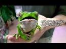 Лягушка обезьяна Филломедуза двухцветная Кормление и рассказ про её чудесные свойства