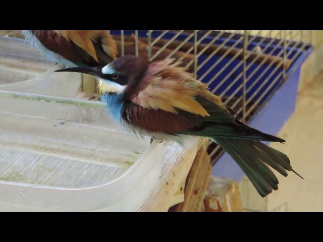 Merops apiaster- ЗОЛОТЫЕ ЩУРКИ