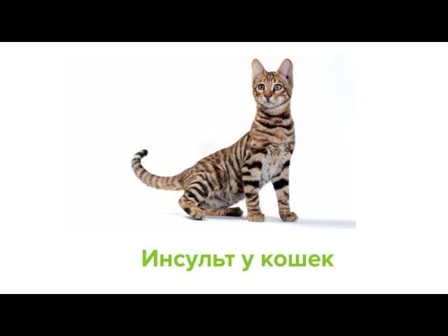 Инсульт у кошек. Ветеринарная клиника Био-Вет.