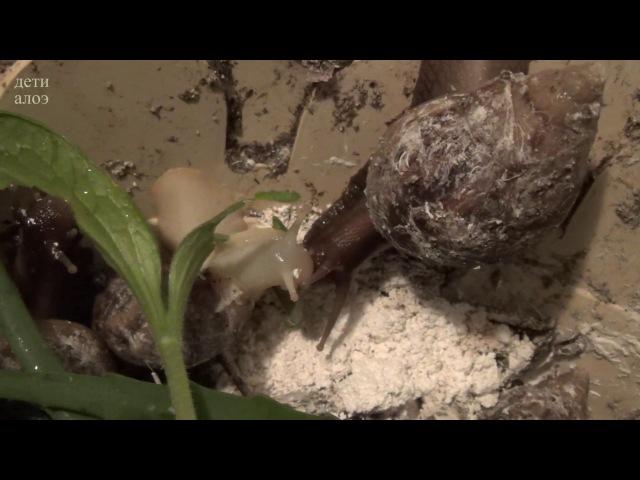 Проросток тыквы. Улитки едят, пьют, купаются