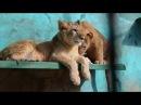 УМИЛИТЕЛЬНОЕ ВИДЕО Львенок Зара принесла кушать львенку Алексу .Тайган .Крым