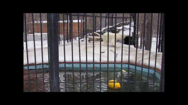 Белый медвежонок Ростик Бег 21 03 18 г