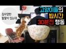 고양이들의 밥시간 30분전 행동들 Hungry Cat Begging For Food 猫たちの食事時間30分前行動[SURI NOEL]