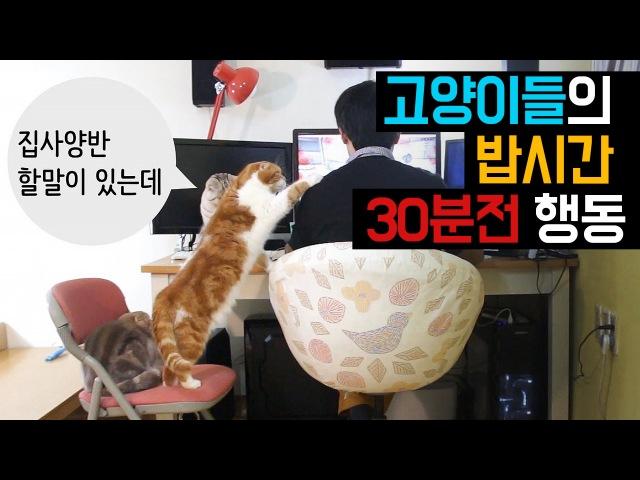 고양이들의 밥시간 30분전 행동들 Hungry Cat Begging For Food 猫たちの食事時間30分前行動[SURINOEL]