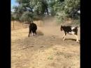 девушка играет с бычками мячиком