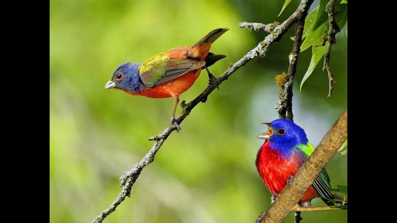 Animal Planet | Painted Bunting Birds | Most Beautiful Birds In The World