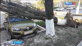 ГТРК Белгород - Порывы ветра повалили дерево на припаркованные автомобили
