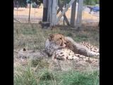 Семейство гепардов на отдыхе