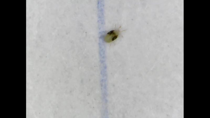 Обыкновенный паутинный клещ (Tetranychus urticae) на личиночной стадии