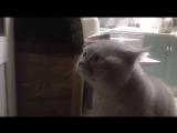 Кот очень смешно говорит_ открой дверь! _ cat ask to open the door _D