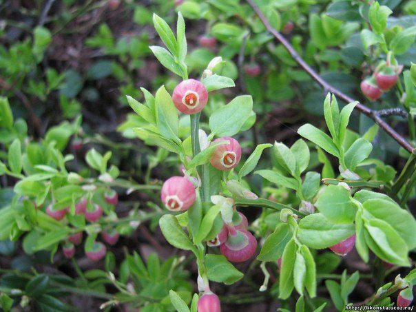 чай из черничных листьев листья черники – один из вкуснейших чаёв, по вкусу и аромату подобный свежим ягодам, но сладковатый, без кислинки. а вот сушёные ягоды, кстати, не придают чаю черничного