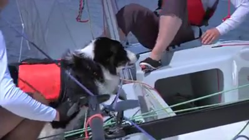 In Pirogovo, Moscow one sailboat has a very unusual sailor – a Border Collie. The Collie knows how to hoist a sail, steer the ru