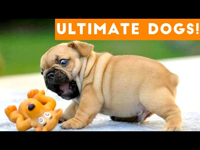 Ultimate FUNNY DOG Compilation of 2017 Funny Pet Videos