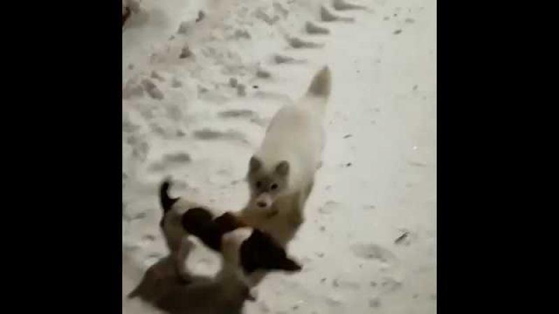 В Норильске опять песец и снова нападет на людей!