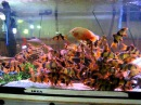 Clown Loaches Tank RTG