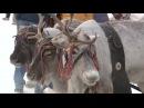 Вести: Зрелищный дрифт на оленьих упряжках: в Ханты-Мансийске прошли большие гонки