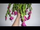 Декабрист пора готовить для обильного цветения Шлюмбергера Decembrist conditions for flowering care