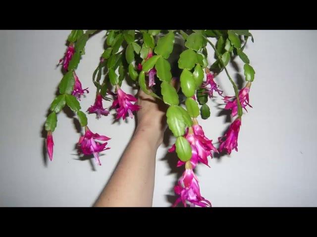 Декабрист Уход что сделать для Обильного цветения Шлюмбергера Decembrist conditions for flowering