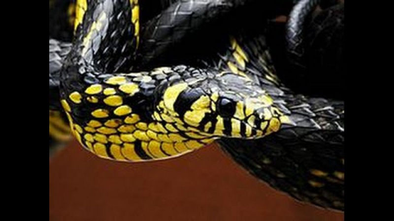 Поверхностные раны у змеи куроеда (Spilotes pullatus) / Heridas superficiales en una Serpiente Voladora (Spilotes pullatus)