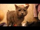 Котик британец жгет Прикол с котом РУССКАЯ ГОЛУБАЯ