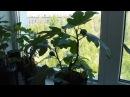 Однолетний куст инжира с плодами