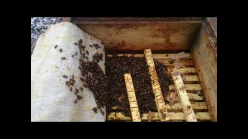 Бакфаст, карника-пчеломатки,пчелопакеты. т.89603022455