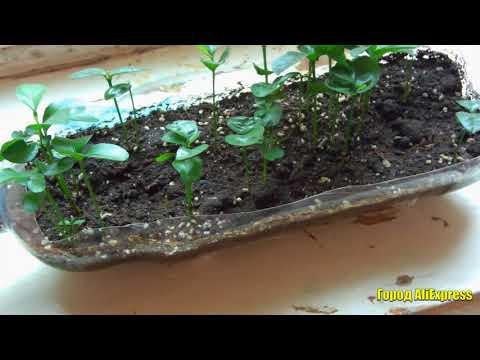 Семена мандарина и сладкого перца. Дачникам на заметку. Садим, поливаем, собираем урожай