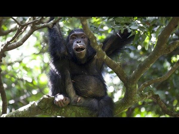 Chimpanzees vs Monkeys Teamwork Pays Off BBC Earth