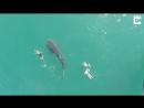 Купание с китовой акулой