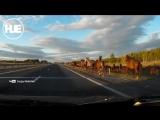 Под Челябинском стадо лошадей спровоцировало ДТП
