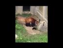 Красная панда против булыжника