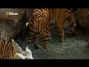 Бетти Уайт Защитница больших кошек / Betty White goes wild / 2013