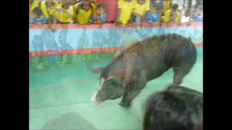 Мой видеоролик Тайланд Шоу свиней 2011г Thailand pig