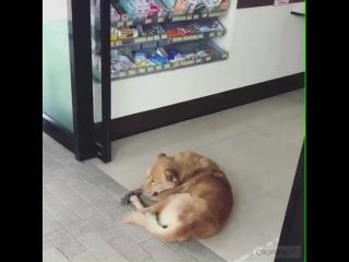 Bator Sambuev   Самый ленивый пёс на свете! Респект!