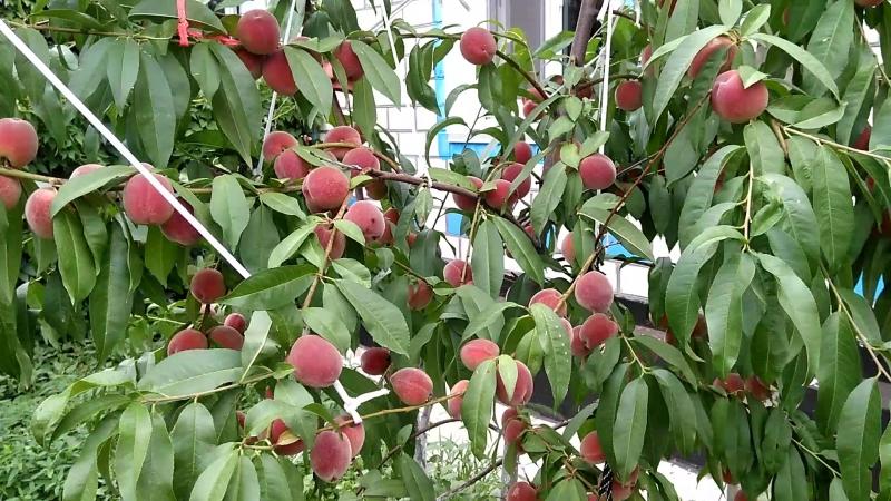 Наши персики дереву второй год ранний сорт