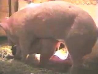 Секс с со свиньеи