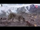 Снежный Барс- ИРБИС