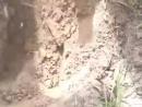 Vidmo_org_Afrikanskie_rybaki_lovyat_rybu_pryamo_iz_zemli_480.mp4
