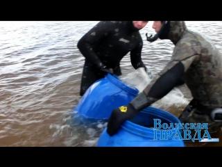 Волжские подводные охотники провели акцию по зарыблению Подари жизнь Волге