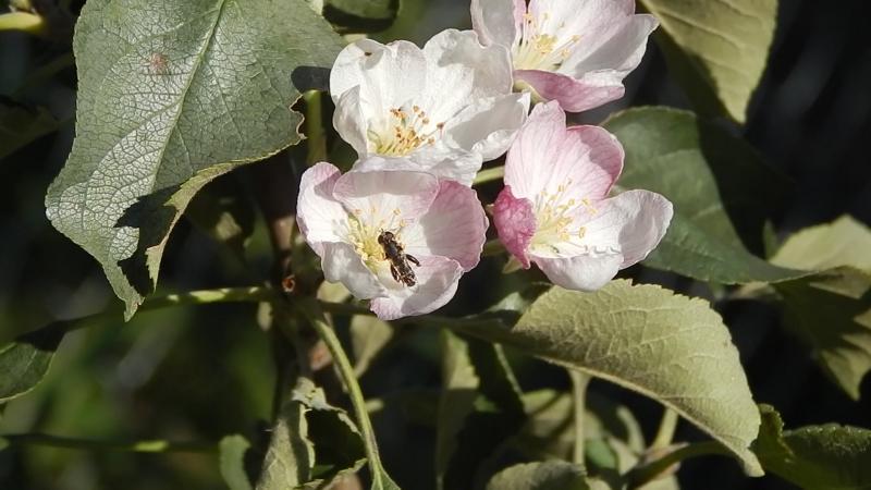 В августе в Горшечном зацвела яблоня