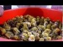 Перепела разведение От А и до сковородки Отбор перепелиных яиц для инкубации Часть 1