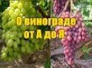 Выращивания винограда пошаговая инструкция Подробное поэтапное видео от А до Я