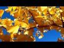 GINKGO BILOBA, ГИНКГО БИЛОБА, самые красивые деревья мира, Jardin Oriental, 05/12/2017