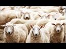 Волки и овцы, Басня Ивана Крылова