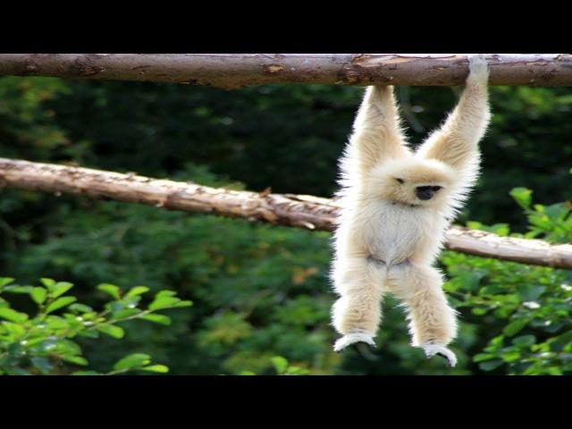 Monkey swing,Capibara plays ♫♫♫