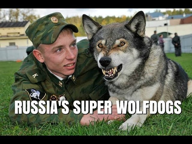 VOLKOSOBY - RUSSIAS POWERFUL SECRET WOLF DOGS Animal Watch
