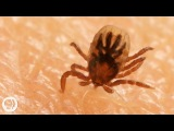 How Ticks Dig In With a Mouth Full of Hooks Deep Look